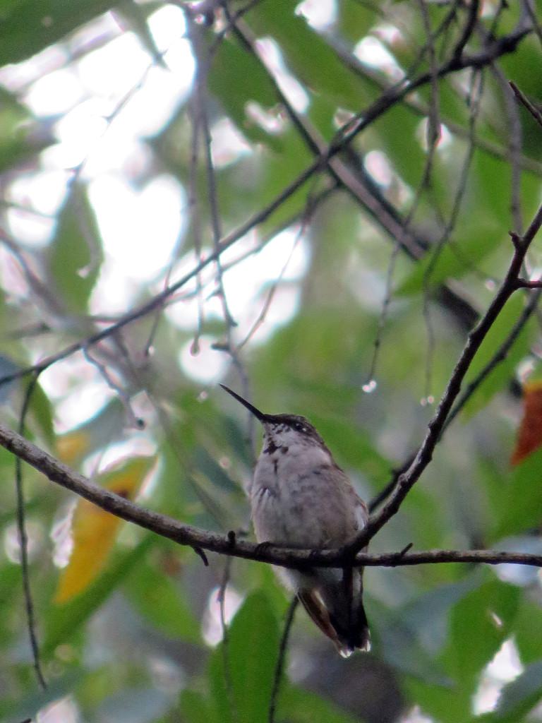 hummingbird in my backyard