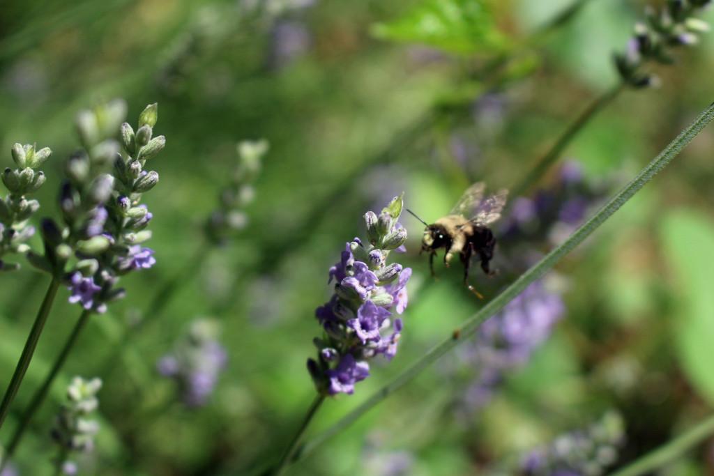 bumblebeelavender